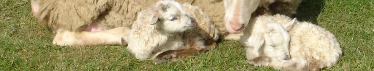 Traum-Schaf
